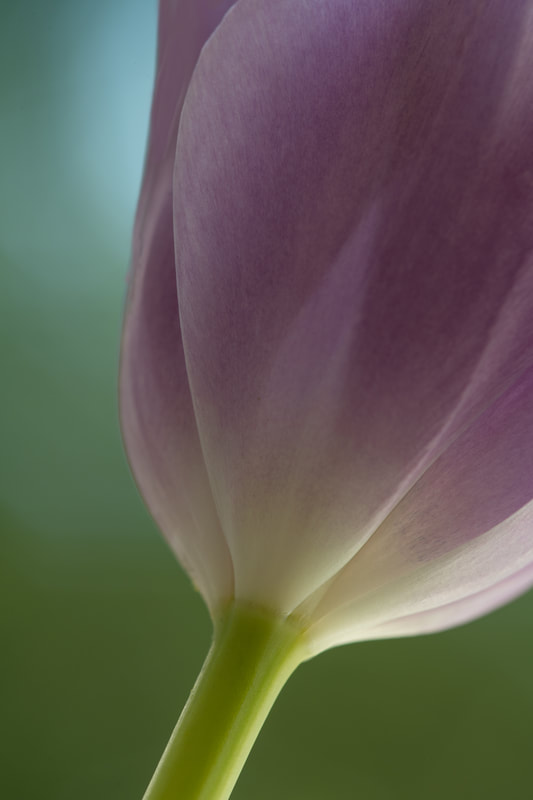 Tulip and Light